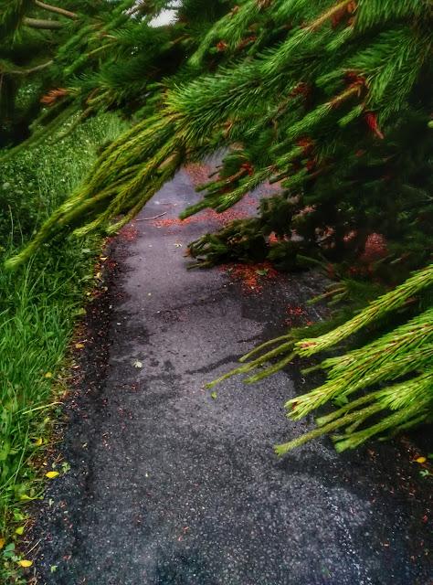 fallen pine tree across a road