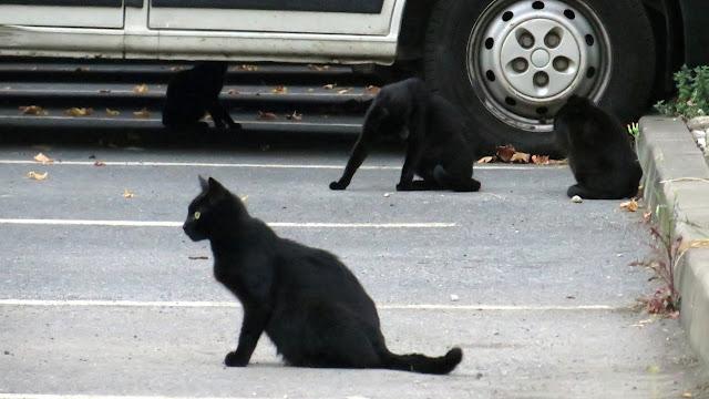 Detectan 14 colonias de gatos callejeros a los que se esterilizará y alimentará en la vía pública