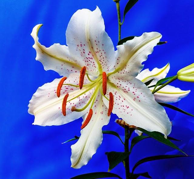 Growing Lilies In Your Garden