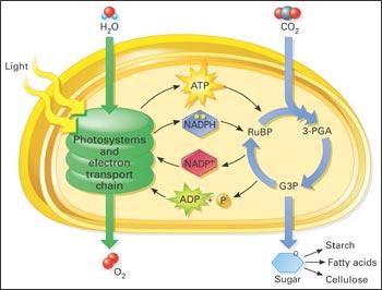 diagram with inputs and outputs of photosynthesis process 1992 volvo 740 wiring reaksi terang dan gelap atau siklus calvin ~ ilmu kuadrat