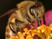 turning normal bees into killer bees