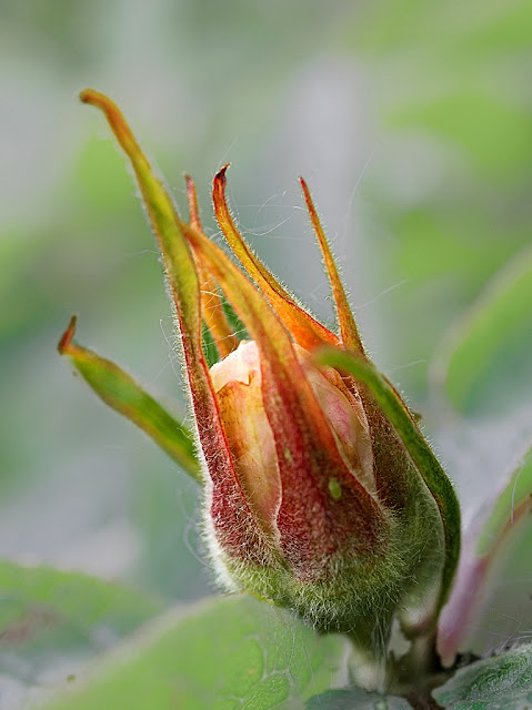 Close up of a bud of medlar just beginning to open