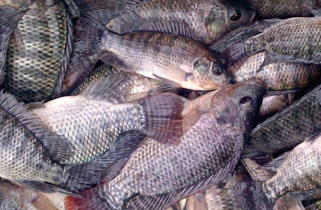 Jual Ikan Nila Di Kota Surabaya