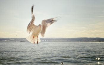 Wallpaper: Seagull in flight