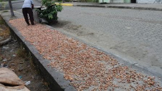Campesino secando las semillas del Cacao