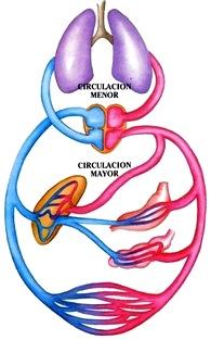 Dibujo de la Circulación menor y mayor a colores