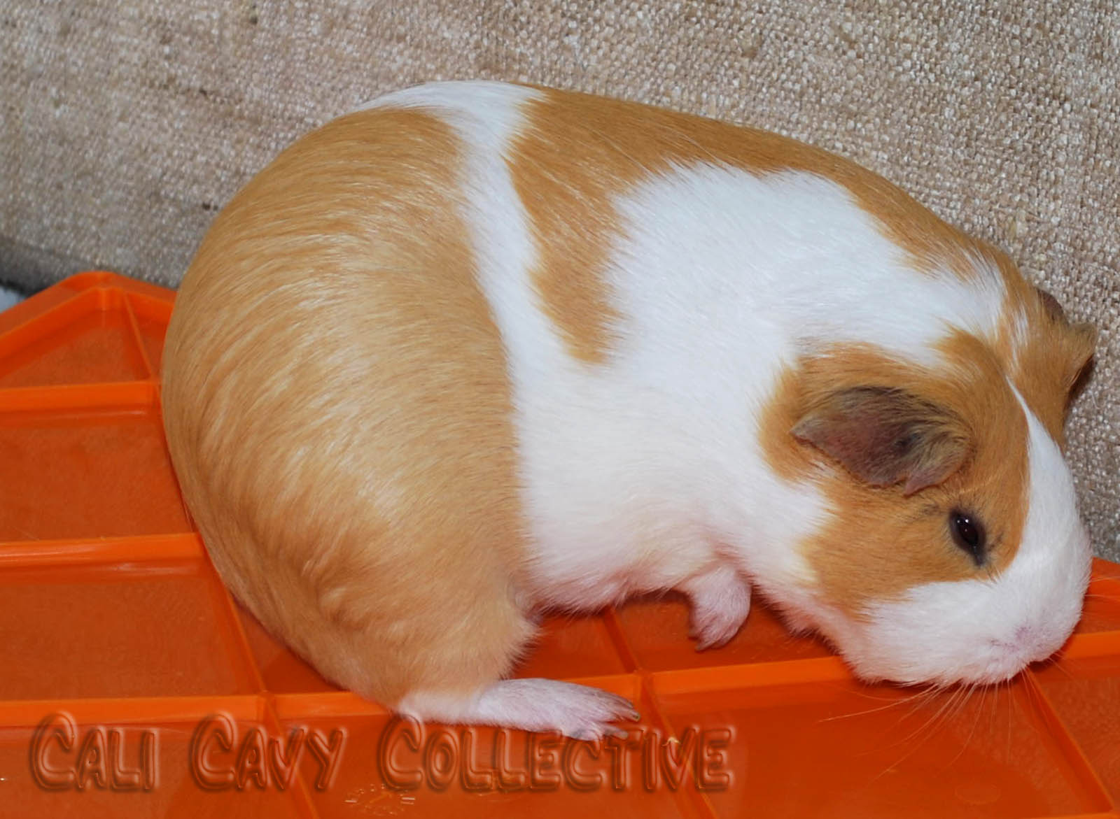 Guinea Pig Babies Facts