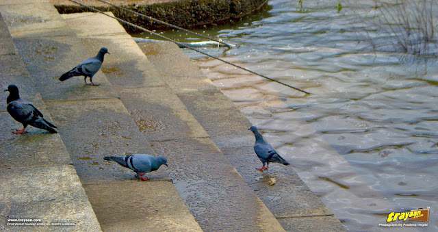 Pigeons at the banks of River Tunga