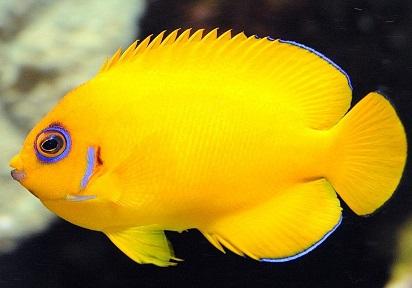 Jenis Ikan Hias Air Tawar Langka Untuk Dipelihara