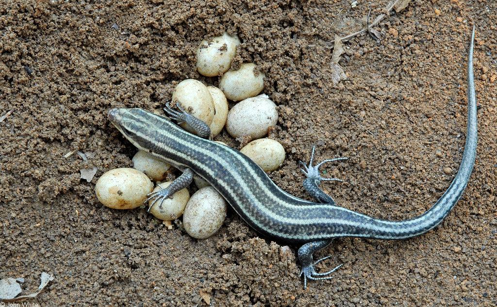 Reptiles That Lay Eggs MONTJUÏC Primary ...