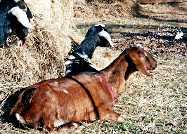 This collection of more than 25 articles about goat care will help you become a better goat keeper.