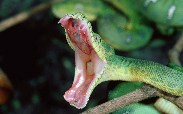 Foto aanvallende groene slang