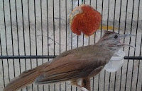 Burung Cucak Jenggot Yang Sudah Ngerol