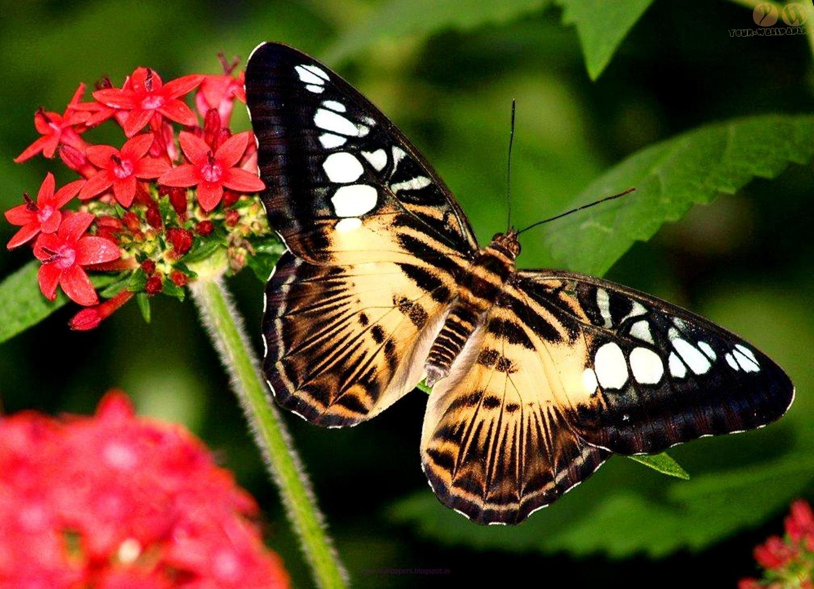 Your Wallpapers: Beautiful Butterfly Desktop Wallpapers
