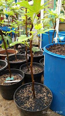 kebun tin zaitun karawang, petani tin karawang