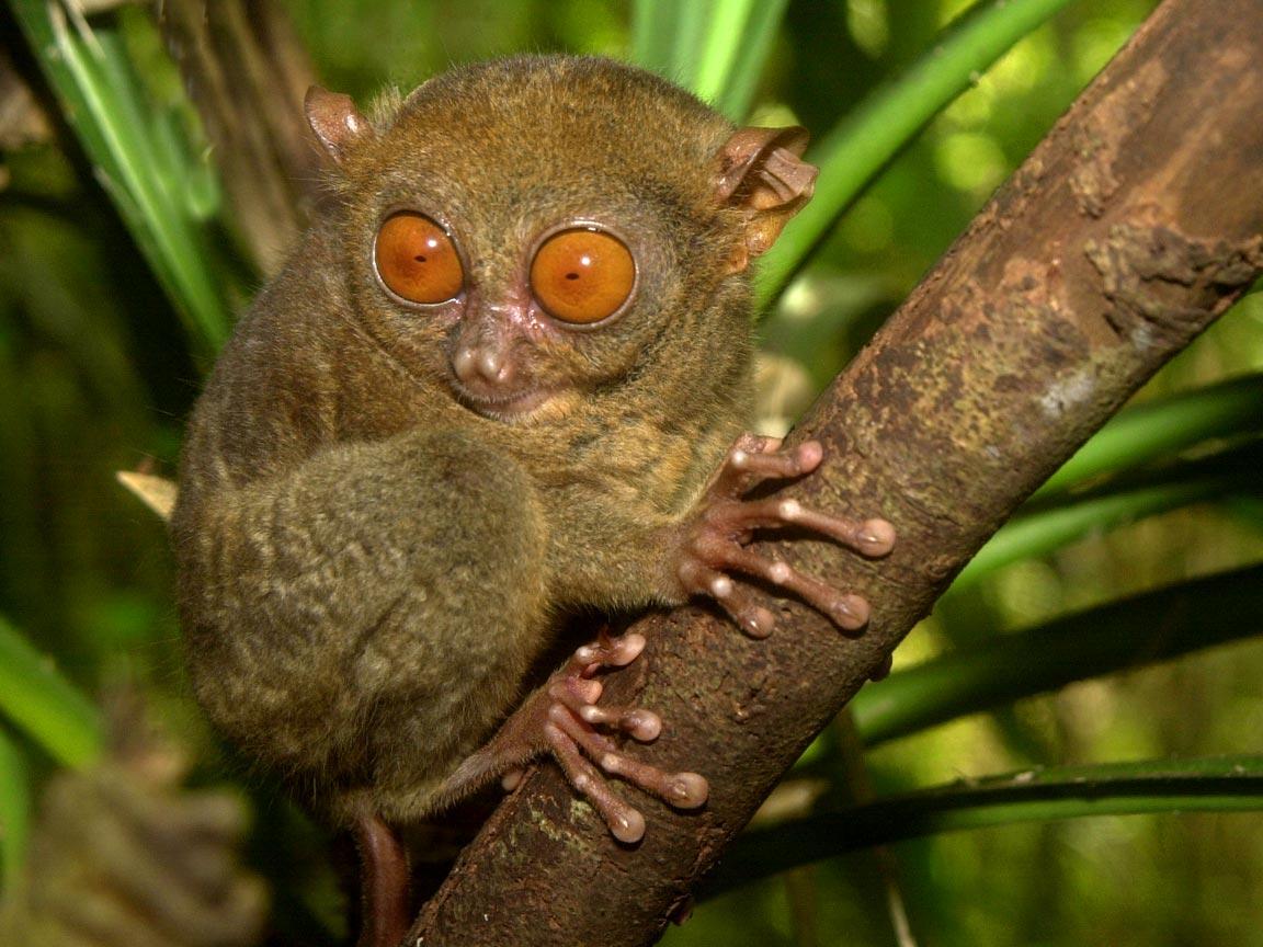 Philippine tarsier - Wikipedia  |The Philippines Animal