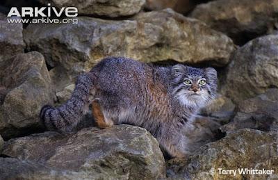 gato de Pallas