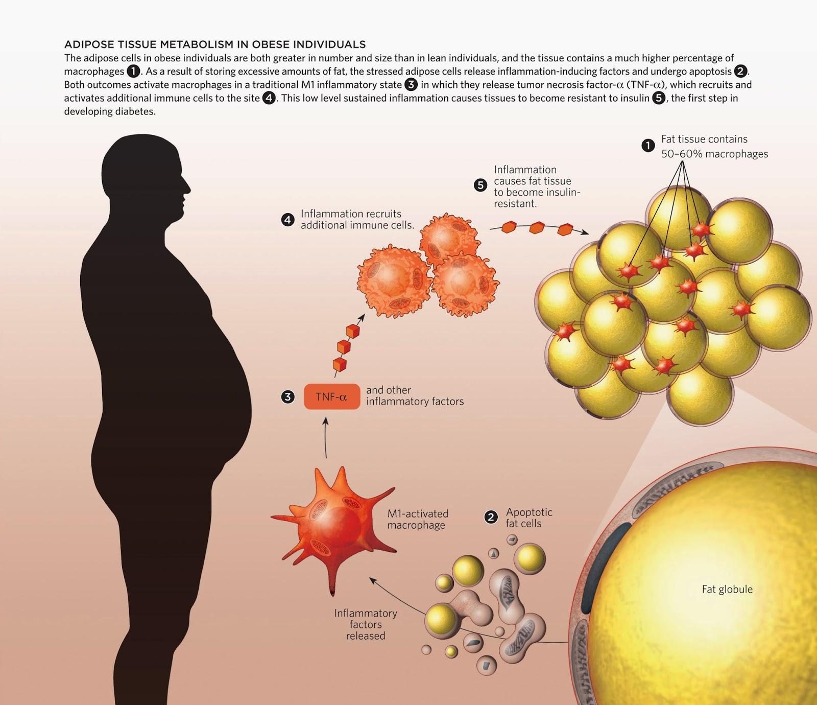 White Fat Cell Diagram 1995 Ford F150 Ignition Wiring Obesidade Abdominal Visceral Central E Sua ImportÂncia
