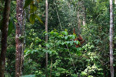 Melihat orang hutan di Semenggoh Wild Center