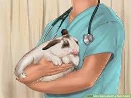 cara mengobati penyakit kembung pada kelinci hias holland lop