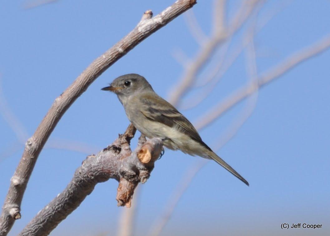 neovista birding: ebird life bird #414: least flycatcher