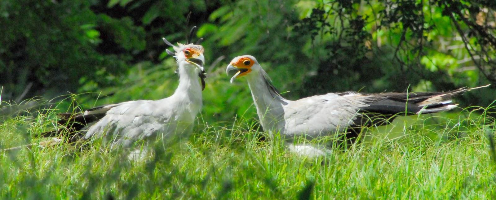 Aves EL PJARO SECRETARIO