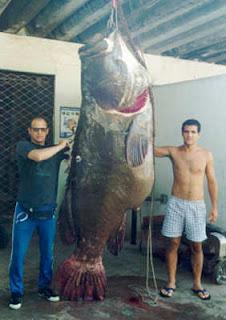 Pesca Submarina | Recorde Brasileiro de Pesca Submarina mero