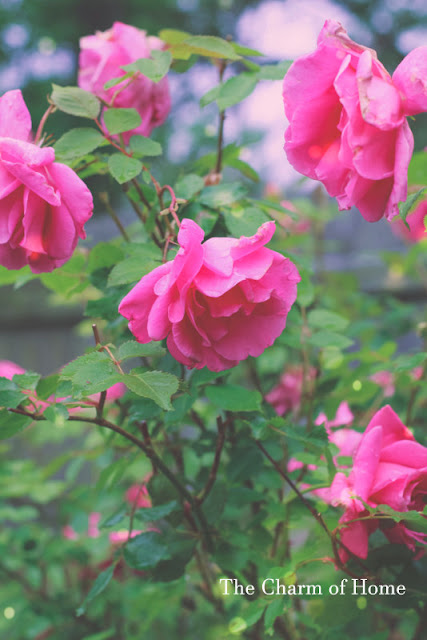 Roses in the Garden: The Charm of Home