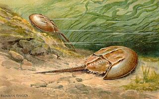 Kepiting Horseshoe