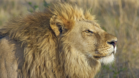 Lion King 2560x1600