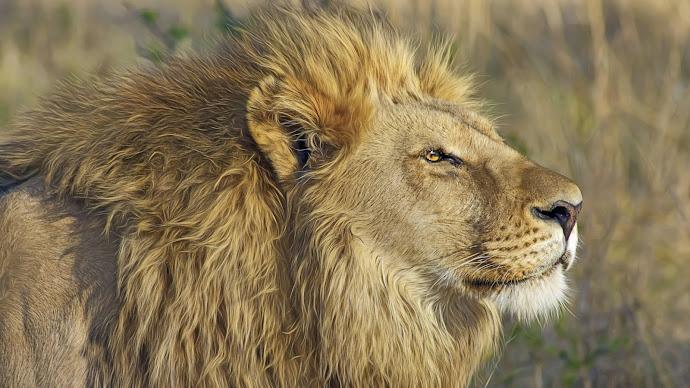 Wallpaper: Wildlife Safari Lion Animal King