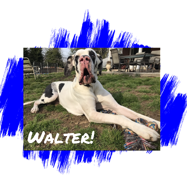 Harlequin Great Dane Adoption