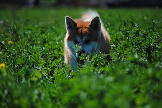 Dog Akita