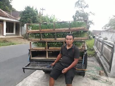 Pengiriman bibit cabe ke Muba, Sumatra Selatan