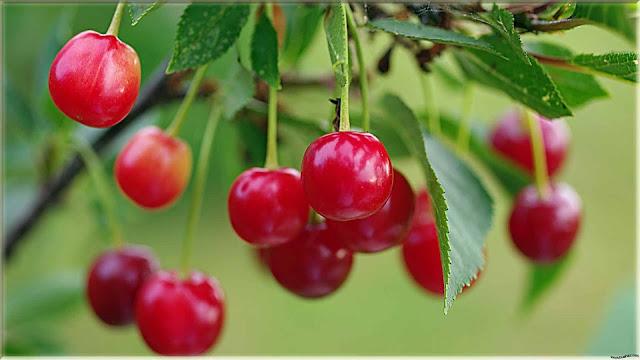 gambar pohon buah cherry
