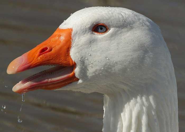 Duck sex