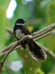 Harga Burung Sikatan Londo : harga, burung, sikatan, londo, Harga, Burung, Sikatan, Londo, Gambar