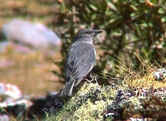 birds Short tailed Finch