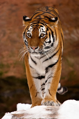 Tiger HD photos