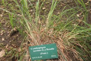 Gambar atau Foto Serai Wangi (Cymbopogon nardus (L.) Rendle)