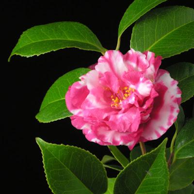Hoa trà 01