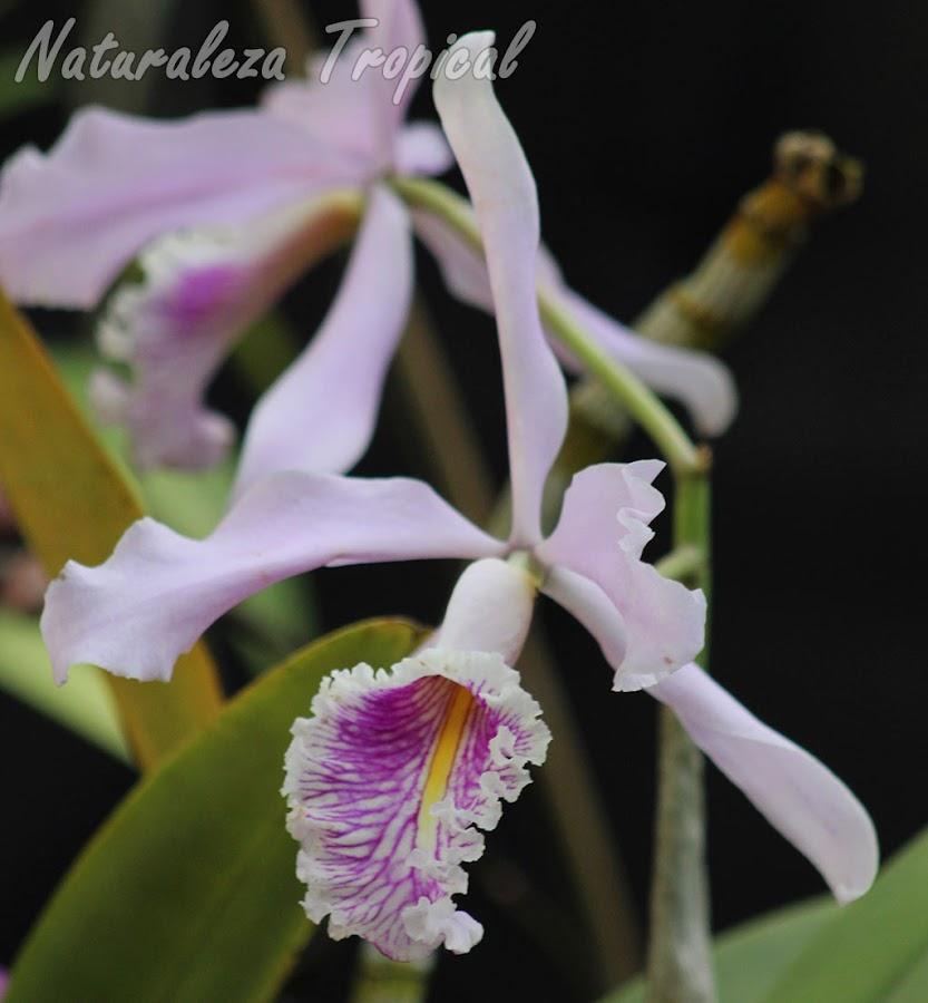 Flor típica de la orquídea Cattleya maxima