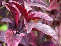 Bahan Herbal Untuk Obat Wasir yang Terbukti Ampuh