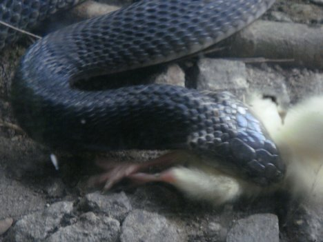 Snakes Eating Cows Snakes: Philippine Cob...
