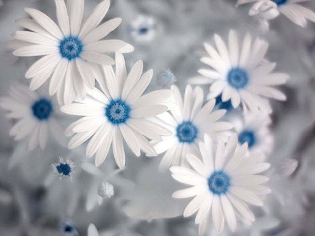 Blue And White Flower Wallpaper: Flower Photos: Sacred Beauty