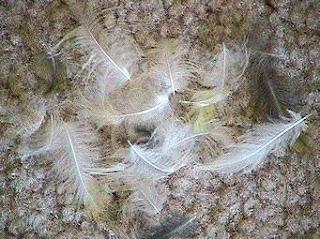 Permasalahan Burung Yang Mabung (MOLTING) : Maslah Terjadinya Mabung Pada Burung Kicau (Bagian 2)