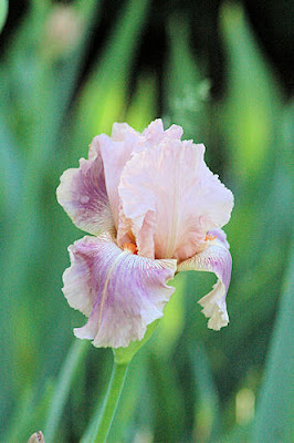 Photo Friday on Sunday - Splendid Iris - May 29, 2011