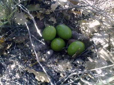 """alt=""""nido de martineta,aves de Mendoza,huevos verdes"""""""