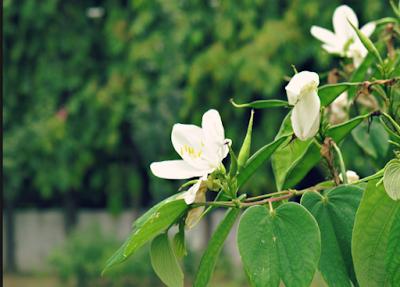 कचानार के पौधे की छाल और गोरखमुंडी