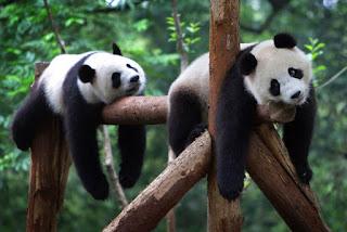 мишки панды отдыхают